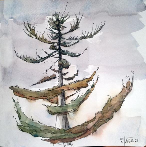 20161022-pine-tree-watercolour-jane-hannah