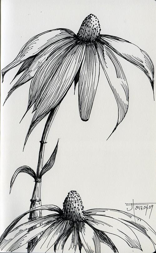 20170409-EchinaceaAngustifolia-loRes