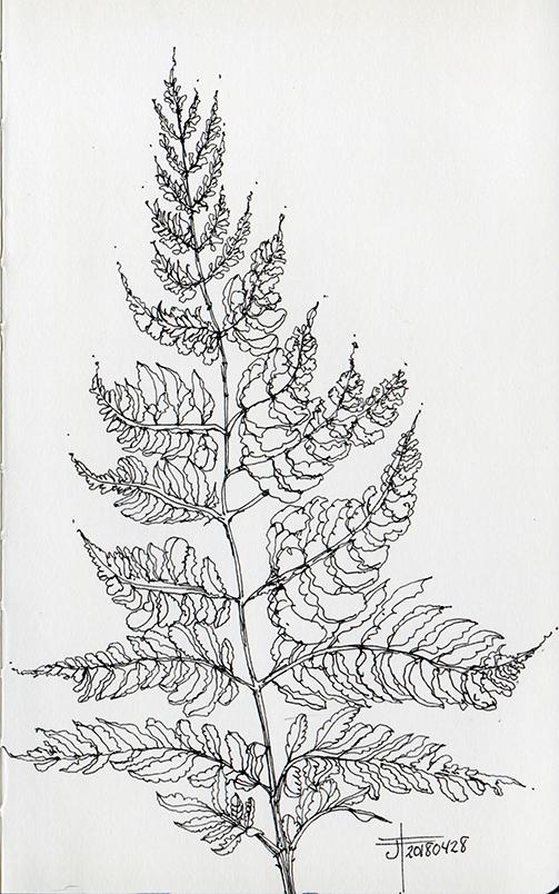 20180428-fern-drawing-jane-hannah-loRes