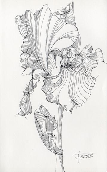 20180429-iris-drawing-jane-hannah-loRes