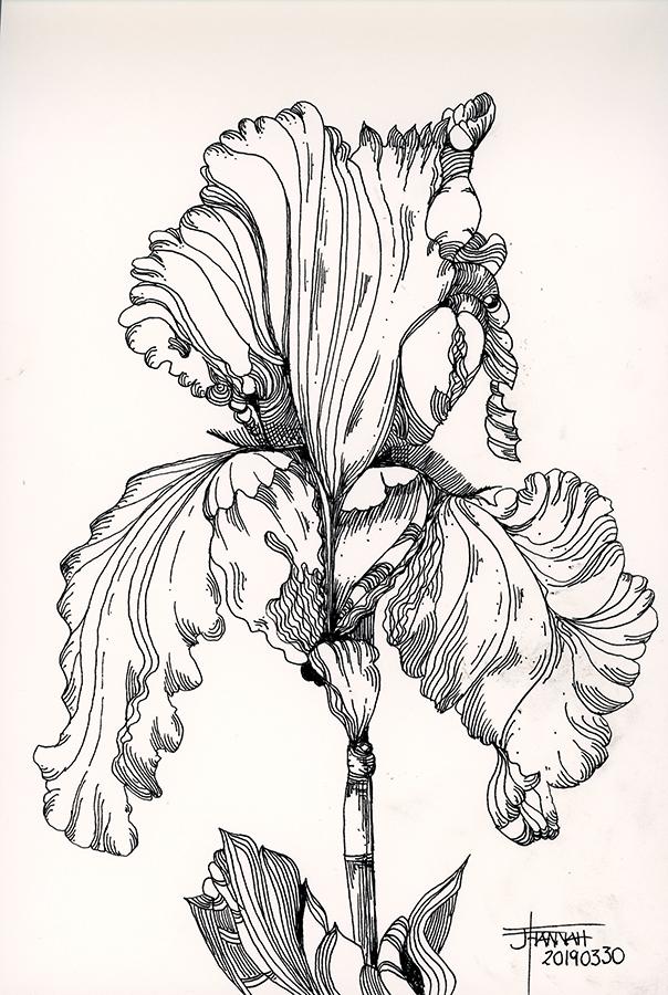 20190330-iris-drawing-jane-hannah-loRes